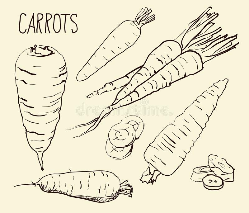 Set carrots isolated on white background. Vegetables. Food. Hand drawn. Silhouette, color, line art - vector illustration