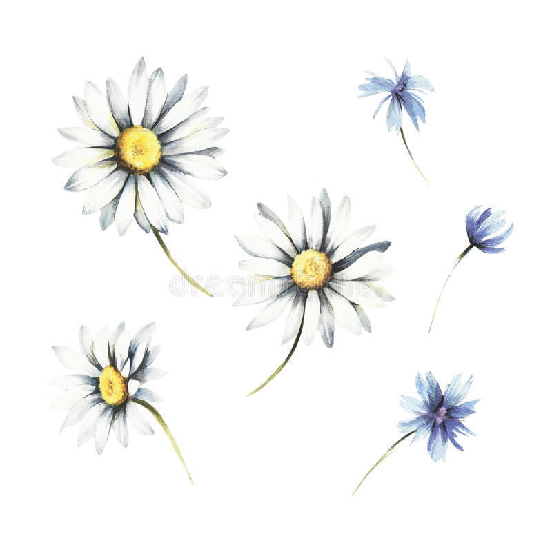 Set of chamomile. Hand draw watercolor illustration. stock illustration