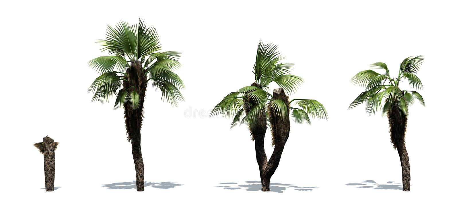 Set of Chinese Fan Palm trees with shadow on the floor. Isolated on white background royalty free illustration