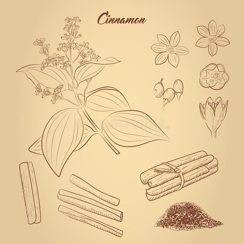Set of cinnamon: flowers, fruits, branch, cinnamon stick. Hand drawn design element for label and poster. vector illustration