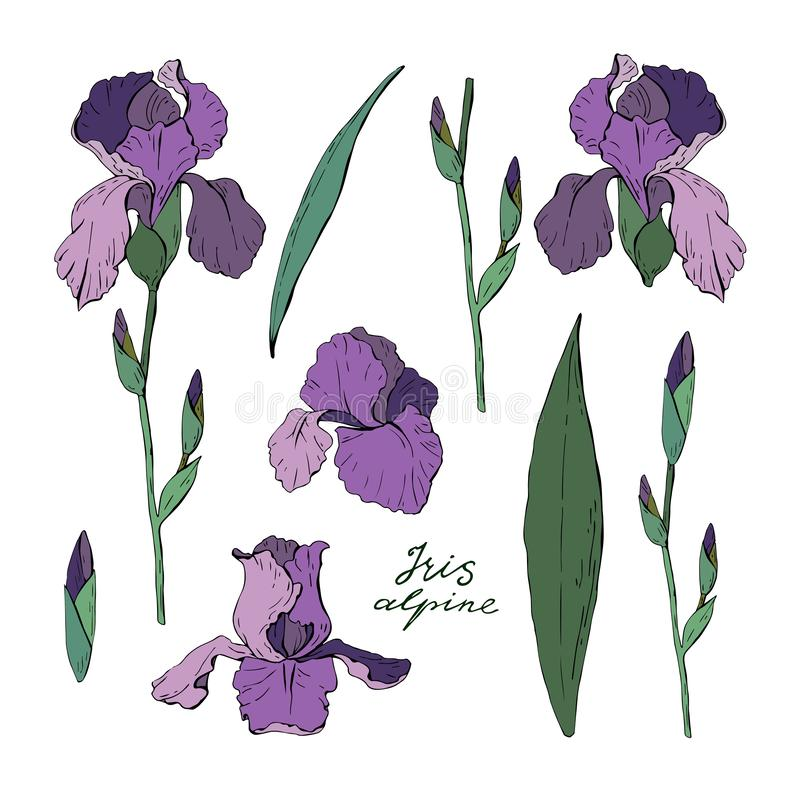 Set of clipart iris floral elements isolated on white background, vector. Set of clipart iris, garden floral elements isolated on white background, vector vector illustration