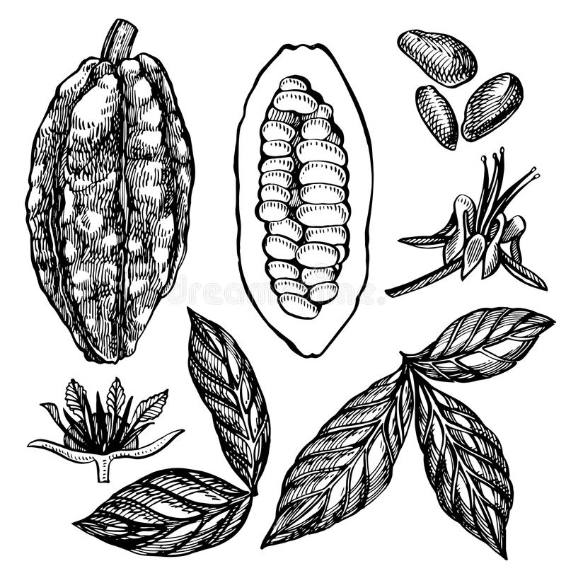 Set Cocoa beans vector illustration. Engraved style illustration. Sketched hand drawn cacao beans, tree, leafs and vector illustration