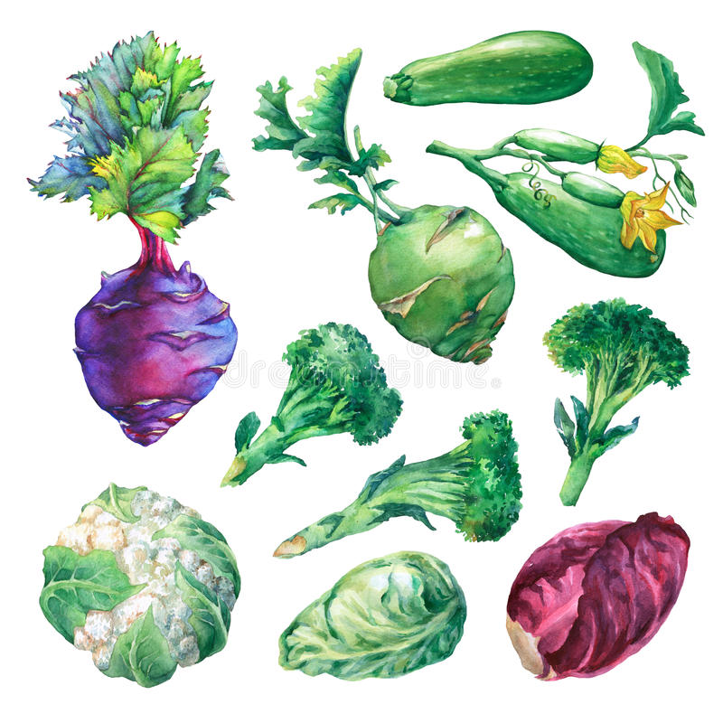 Set, collection of fresh vegetables- cabbage, zucchini, kohlrabi, broccoli and cauliflower. Hand drawn watercolor painting on white background stock illustration