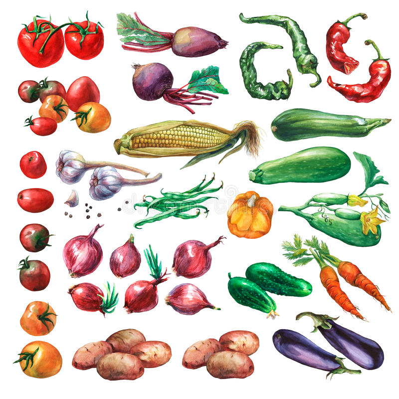 Set, collection of fresh vegetables. Hand drawn watercolor painting on white background vector illustration