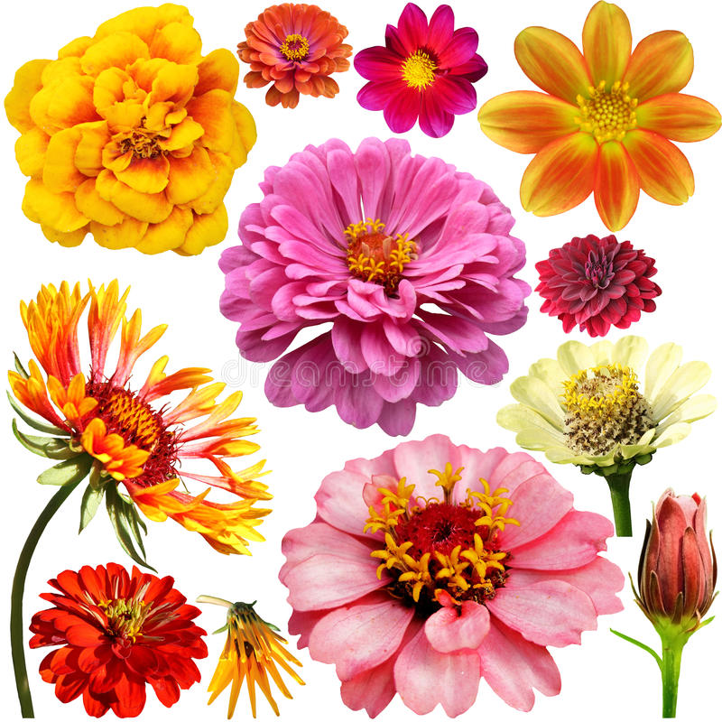 Set of colorful zinnia, dahlia and marigold royalty free stock images