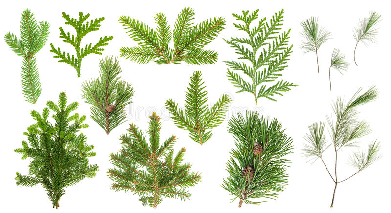 Set coniferous tree branches Spruce pine cypress fir royalty free stock photography