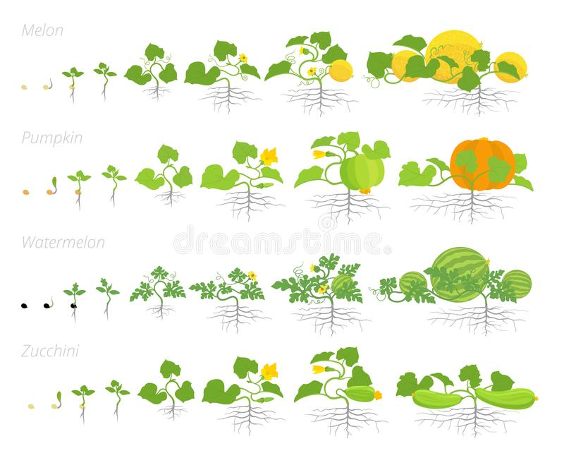 Set of cucurbitaceae plants growth animation. Pumpkin melon and watermelon zucchini or courgette plant. Vector infographics vector illustration
