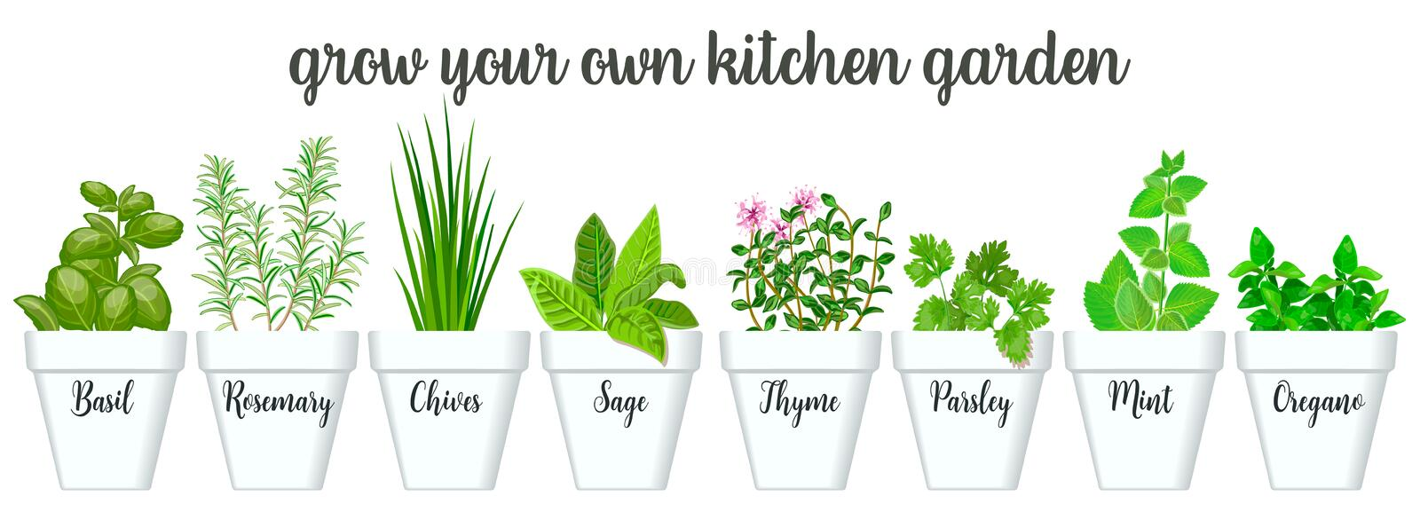 Set of culinary herbs in white pots with labels. Green growing basil, sage, rosemary, chives, thyme, parsley, mint, oregano vector illustration
