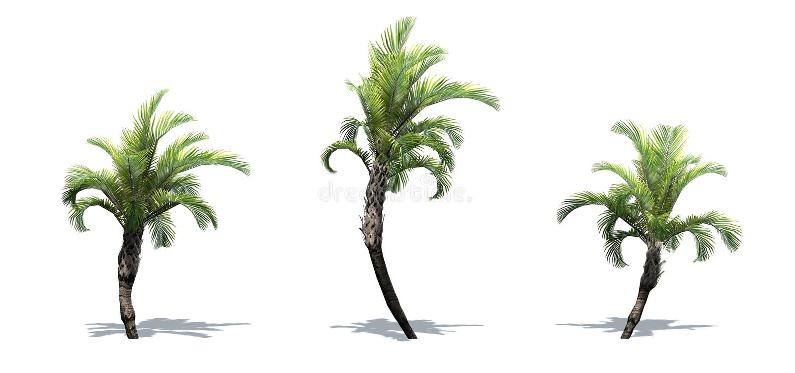 Set of Curly Palm trees with shadow on the floor. Isolated on white background royalty free illustration