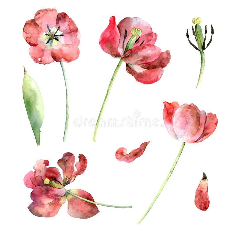 Set czerwoni tulipany ilustracji