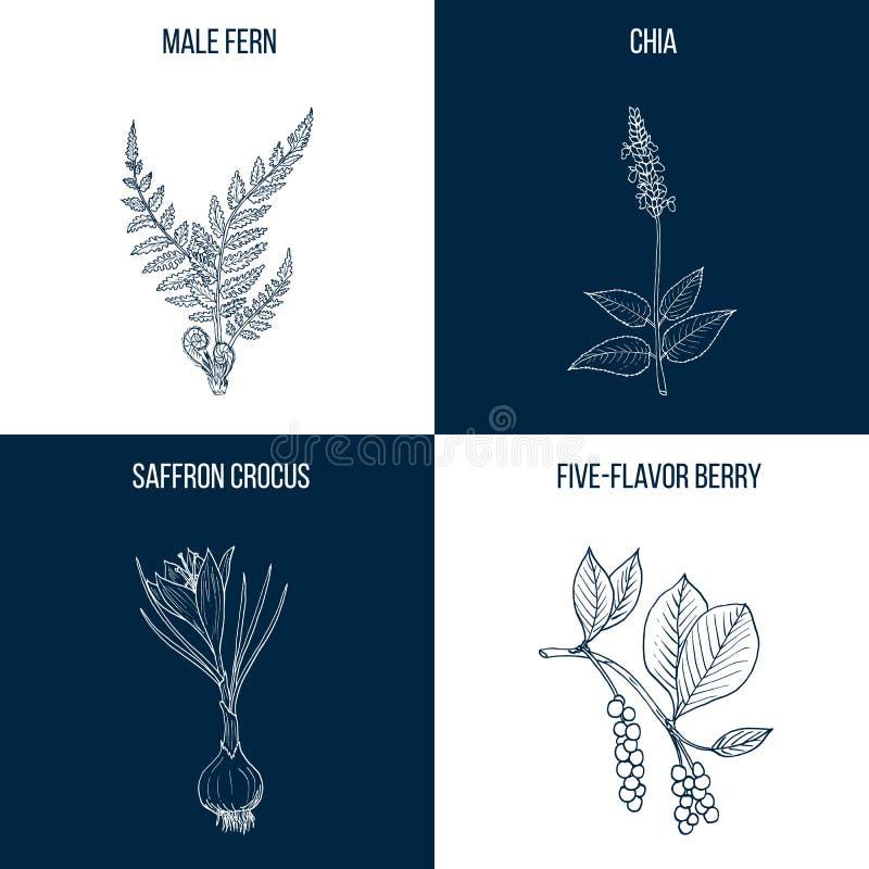 Set cztery rysującej ręki eatable i leczniczych rośliny ilustracji