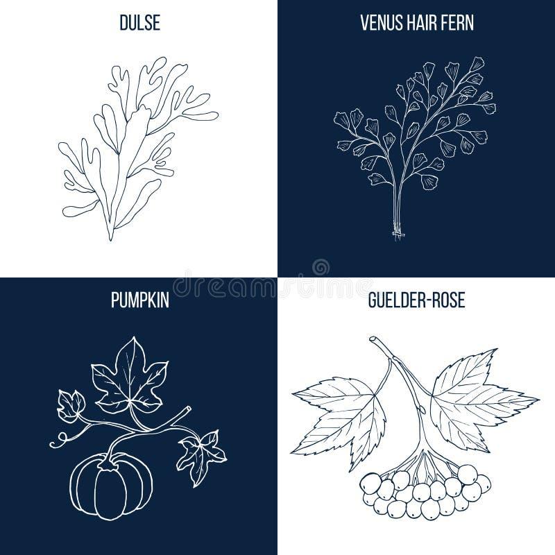 Set cztery rysującej ręki eatable i leczniczych rośliny ilustracja wektor