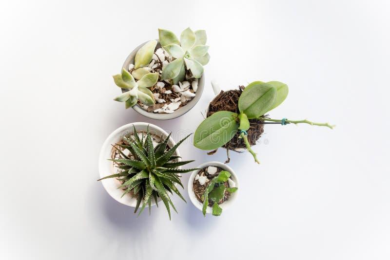 Set cztery wazy z sukulentów kaktusami na białym stole i roślinami, widzieć od above, odgórny widok fotografia stock