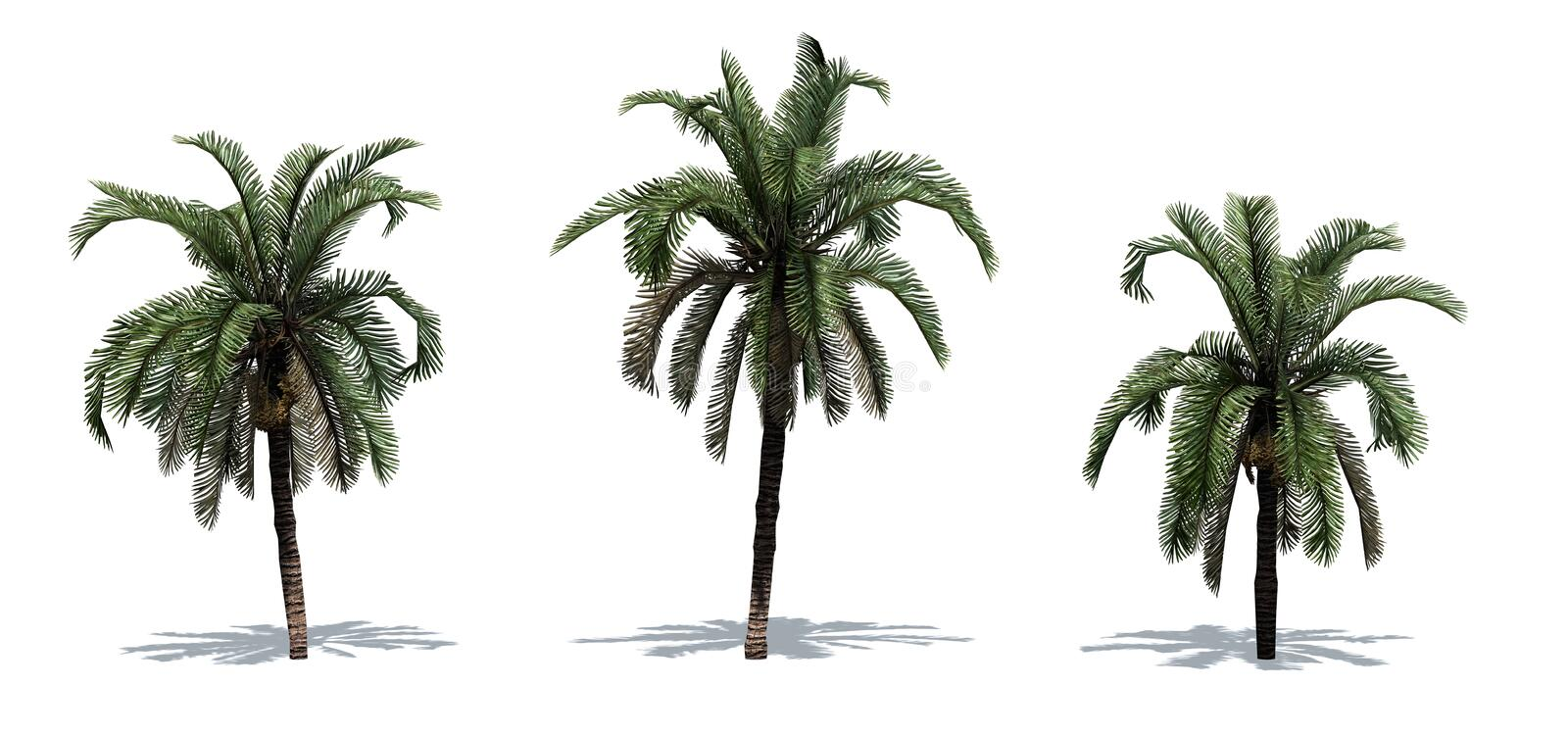 Set of Date Palm trees with shadow on the floor. Isolated on white background stock illustration