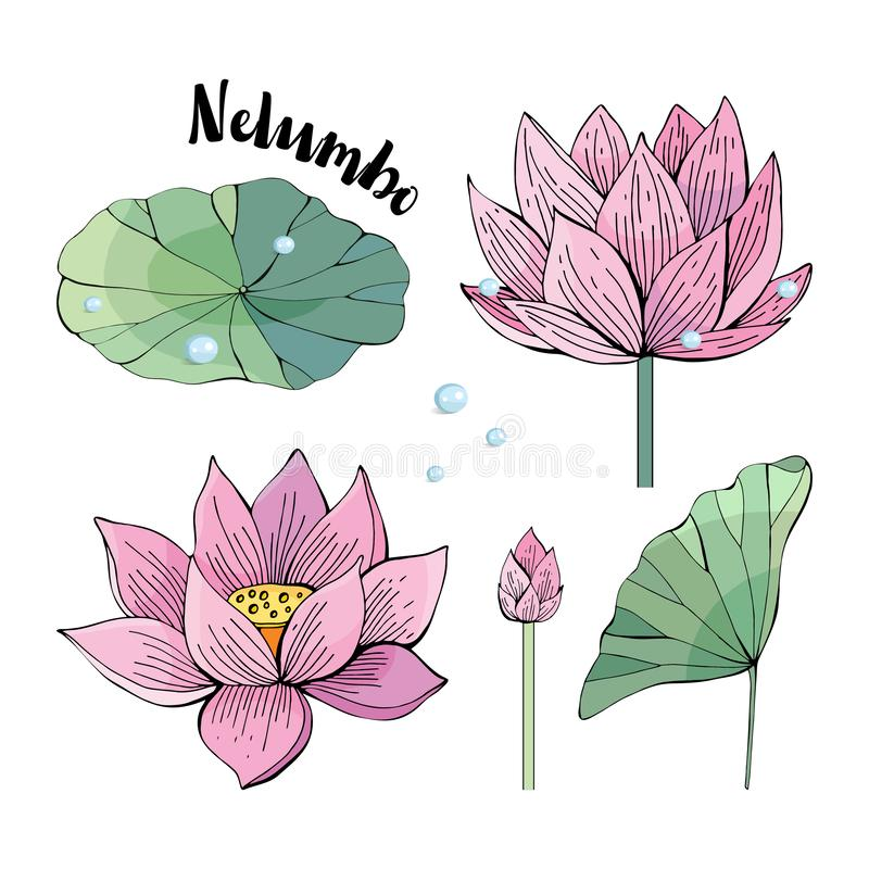 Set of delicate pink Lotus flowers and leaves. Water Lily, Nelumbo. Vintage style. hand drawn Botanical illustration. Objects vector illustration