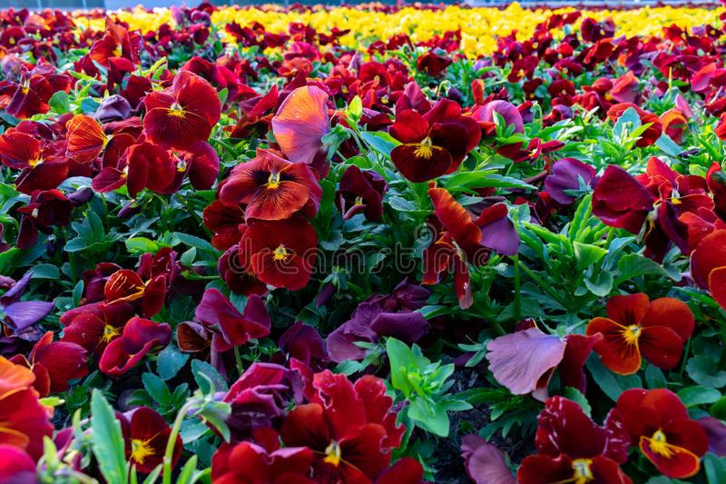 Set of delicate red pansies. Flowers in a botanical garden stock photography
