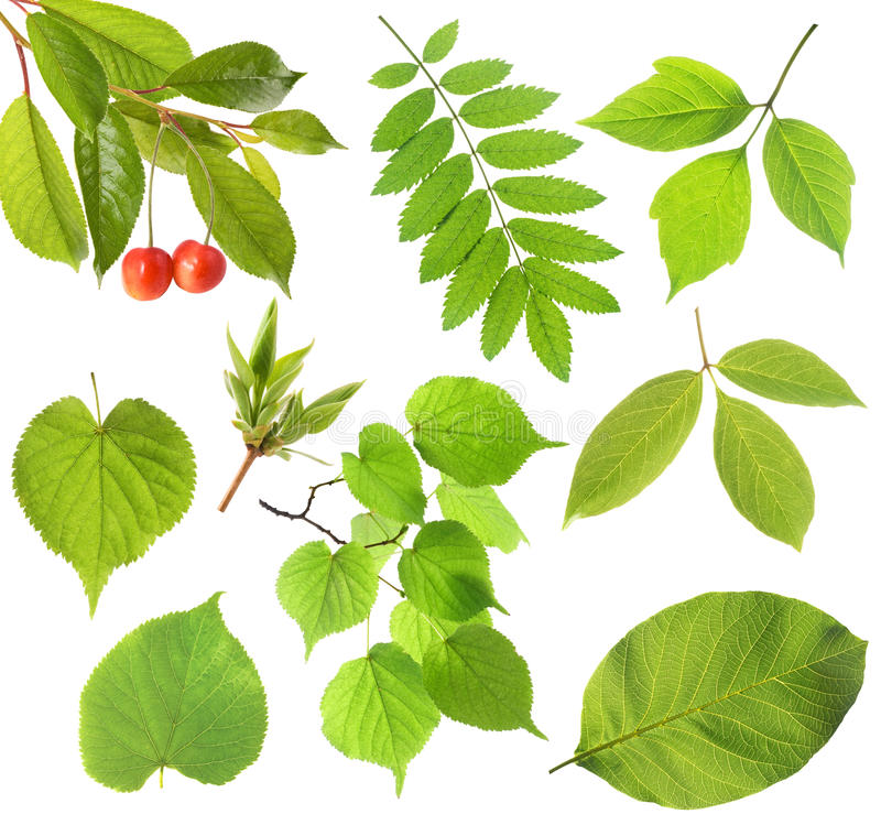Set des grünen Blattes stockfotografie