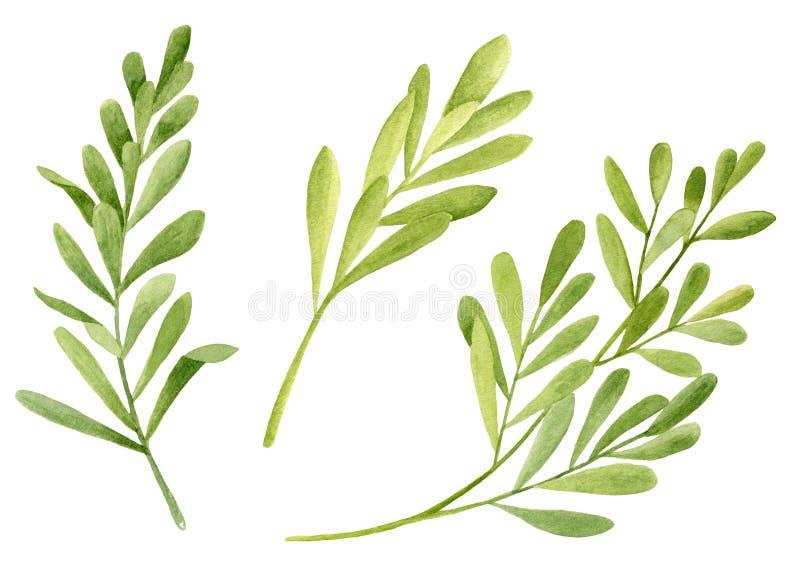 Set di foglie per l'albero di tè di colore acquatico Illustrazione botanica disegnata a mano di Melaleuca alternifolia Impianto m illustrazione vettoriale