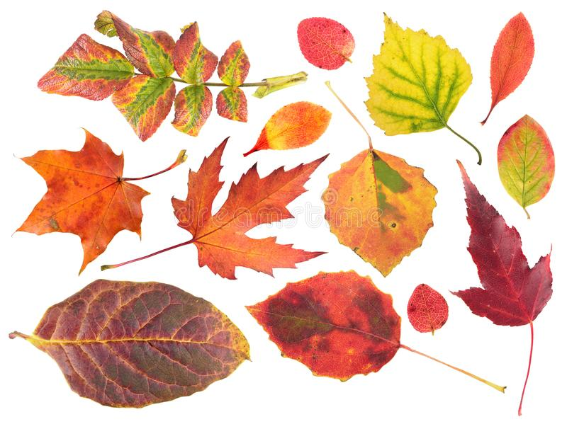 Set of different bright autumn leaves isolated on white stock image
