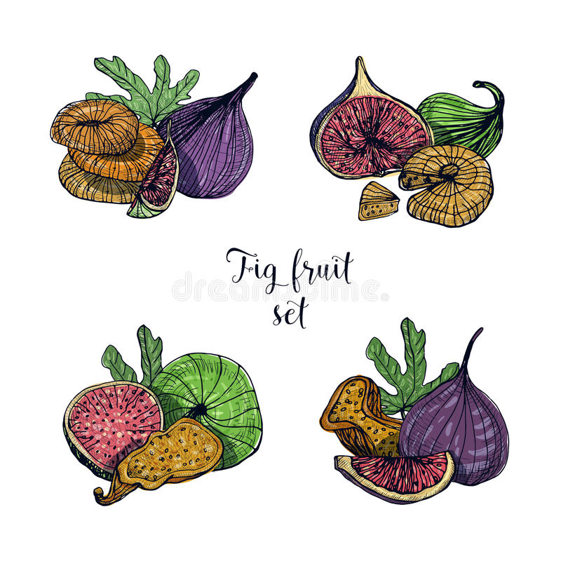 Set of different fig fruit. Fresh and dried fruits, leaf, slices. Colorful vector hand drawn illustration. Set of different fig fruit. Fresh and dried fruits royalty free illustration