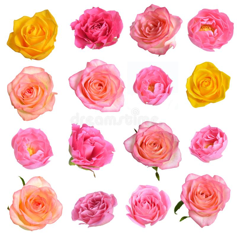 Set of different roses isolated on white background royalty free stock photo