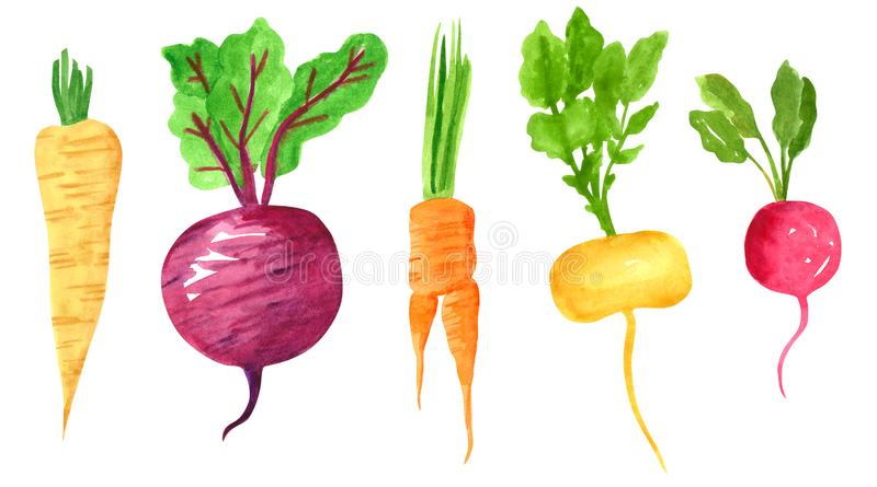 Set of different taproot vegetables, hand drawn watercolor illustration. Parsnip, beetroot, carrot, turnip, radish. Can be used for menu and recipe design vector illustration