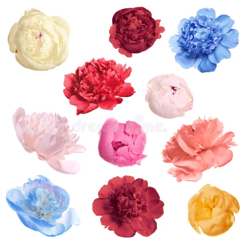 Set of different tender peonies. Fragrant spring flowers stock photography