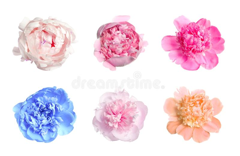 Set of different tender peonies. Fragrant spring flowers stock photos