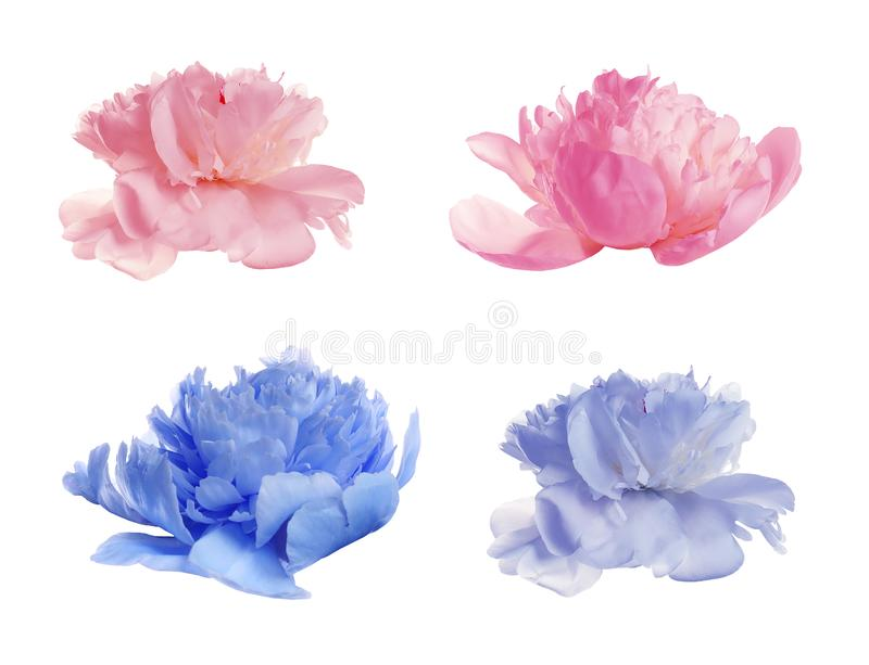 Set of different tender peonies on white. Fragrant spring flowers royalty free stock images