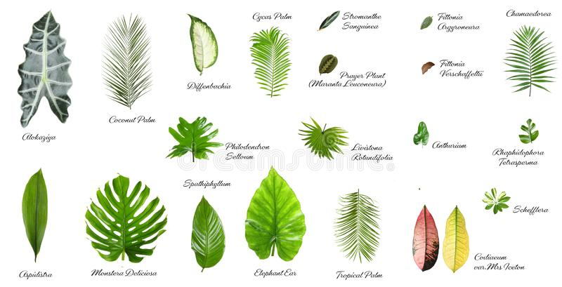 Set Tree Leaves Names Photos Free Royalty Free Stock Photos From Dreamstime Download premium png of hand drawn tropical leaves png transparent background by manotang about leaf, leave, botanical, plant and. set tree leaves names photos free