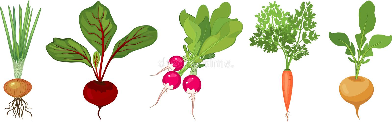 Set of different tuberous vegetables with tops on white background. Set of different tuberous vegetables with tops isolated on white background royalty free illustration