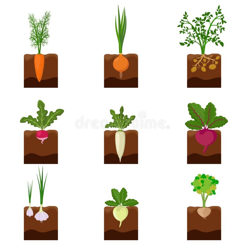 Set of different vegetables plant growing underground: carrot, onion, potatoes, radish, daikon, beet, garlic, celery. Root crop vegetable planted in the ground royalty free illustration