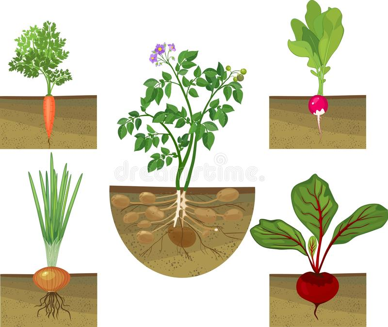 Set of different vegetables plant showing root structure below ground level on white background stock illustration