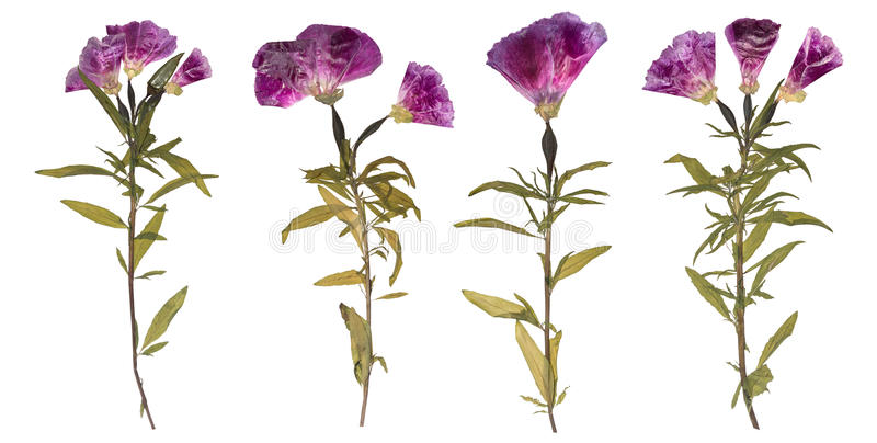 Set of dried and pressed flowers. Herbarium of purple flowers. royalty free stock images