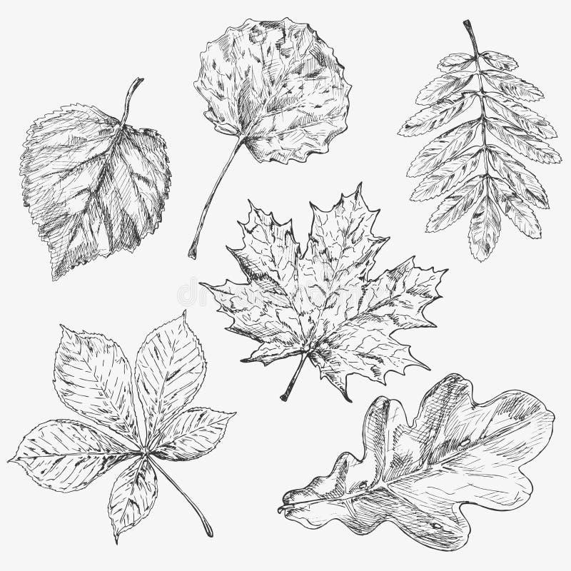 Set drzewni liście Ręka rysujący jesień elementy klon Liść i samara ilustracja wektor