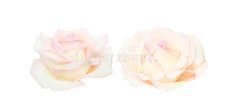 Set dwa światło - różowy róża kwiatu głowy kwitnienie z wod kroplami odizolowywać na białym tle zdjęcia royalty free