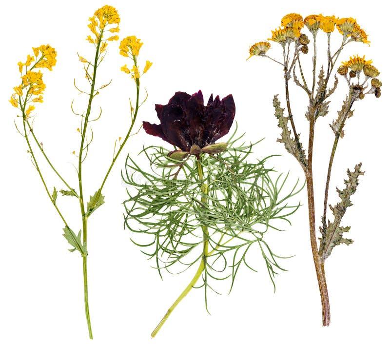 Set dzicy kwiaty naciskający zdjęcia royalty free