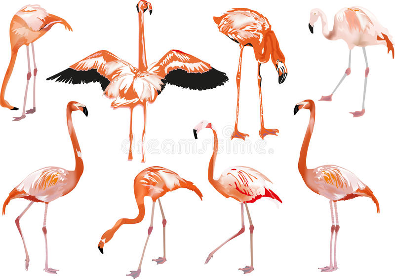 Set of eight pink flamingo on white vector illustration