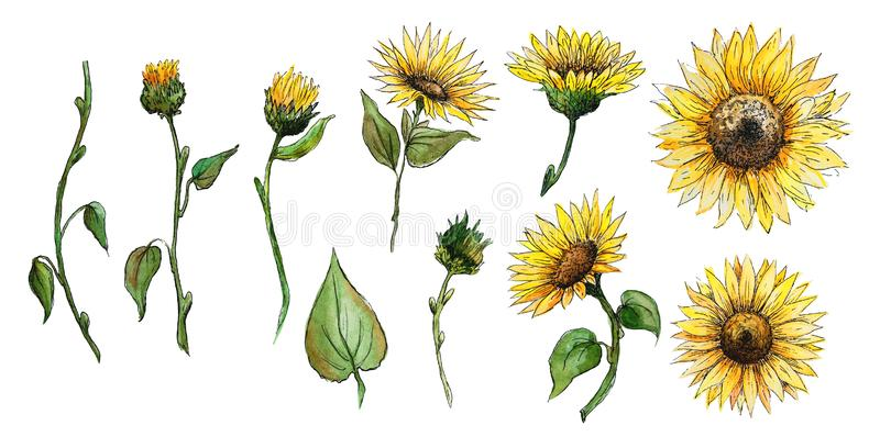 Set of elements flowers, buds, stalks of a sunflower watercolor graphics isolated. Set of elements leaves stalks flowers sunflower buds for design products stock illustration