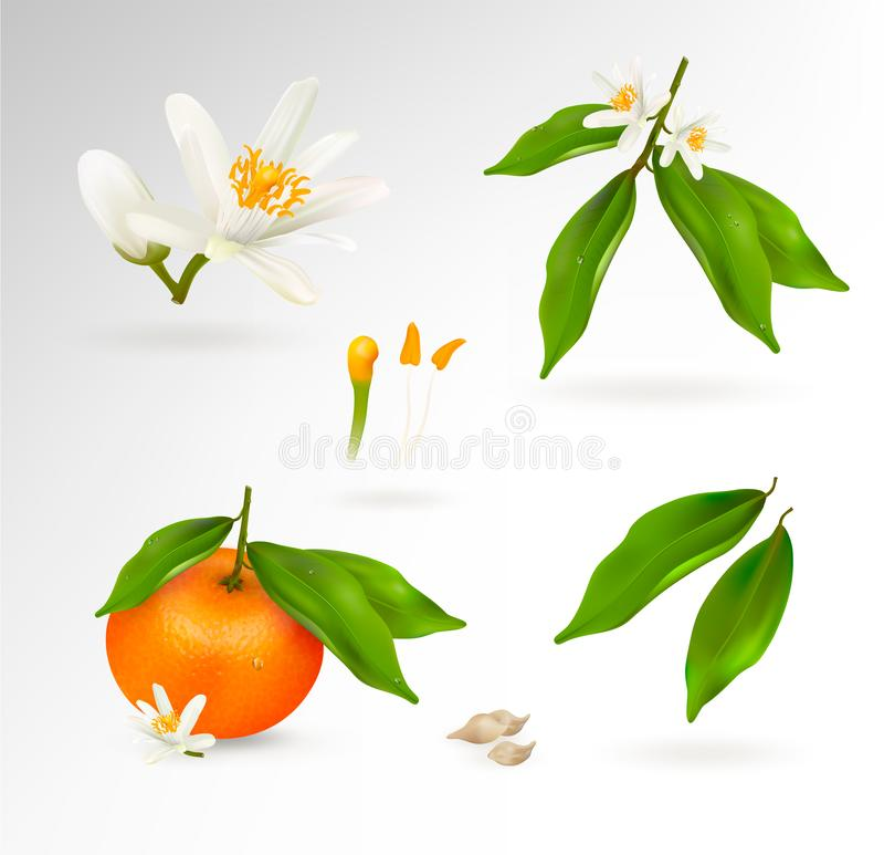 Set of elements of the structure of a mandarin or tangerine citrus plant. Flower, fruit, leaves, twig, stamens, pistil. And bones. Realistic Vector Illustration royalty free illustration