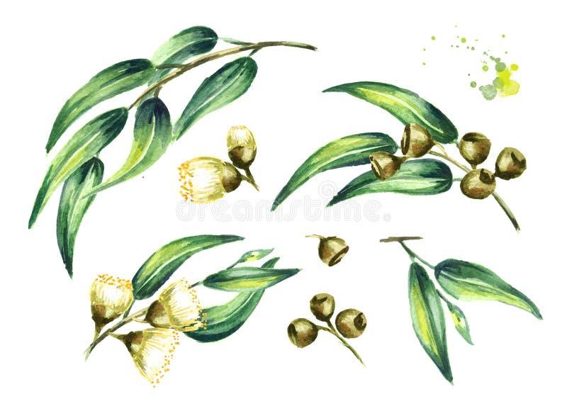 Set eukaliptusowi kosmetyki i lecznicza roślina z liśćmi kwiaty i jagody odizolowywający na białym tle, Akwareli ręki dr ilustracji