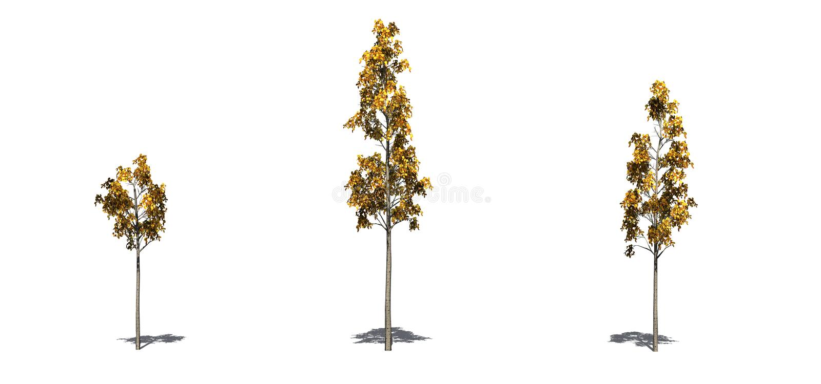 Set of European Aspen trees in the autumn with shadow on the floor on white background. Set of European Aspen trees in the autumn with shadow on the floor vector illustration
