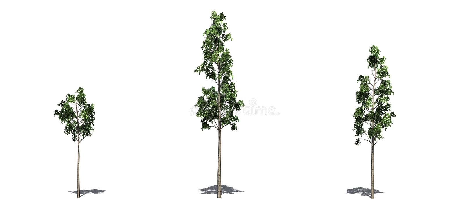 Set of European Aspen trees in the summer with shadow on the floor on white background. Set of European Aspen trees in the summer with shadow on the floor royalty free illustration