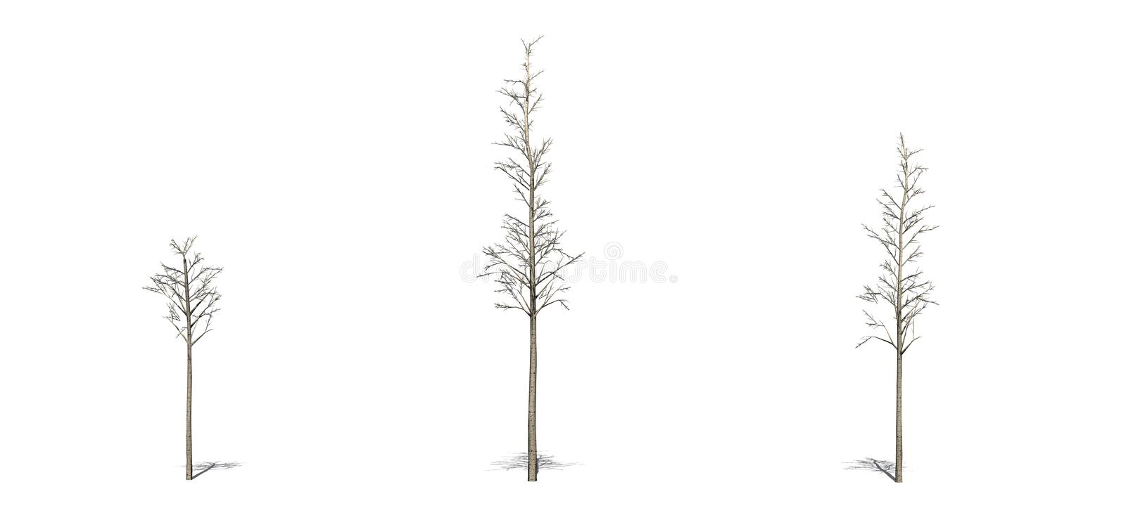 Set of European Aspen trees in the winter with shadow on the floor on white background. Set of European Aspen trees in the winter with shadow on the floor stock illustration