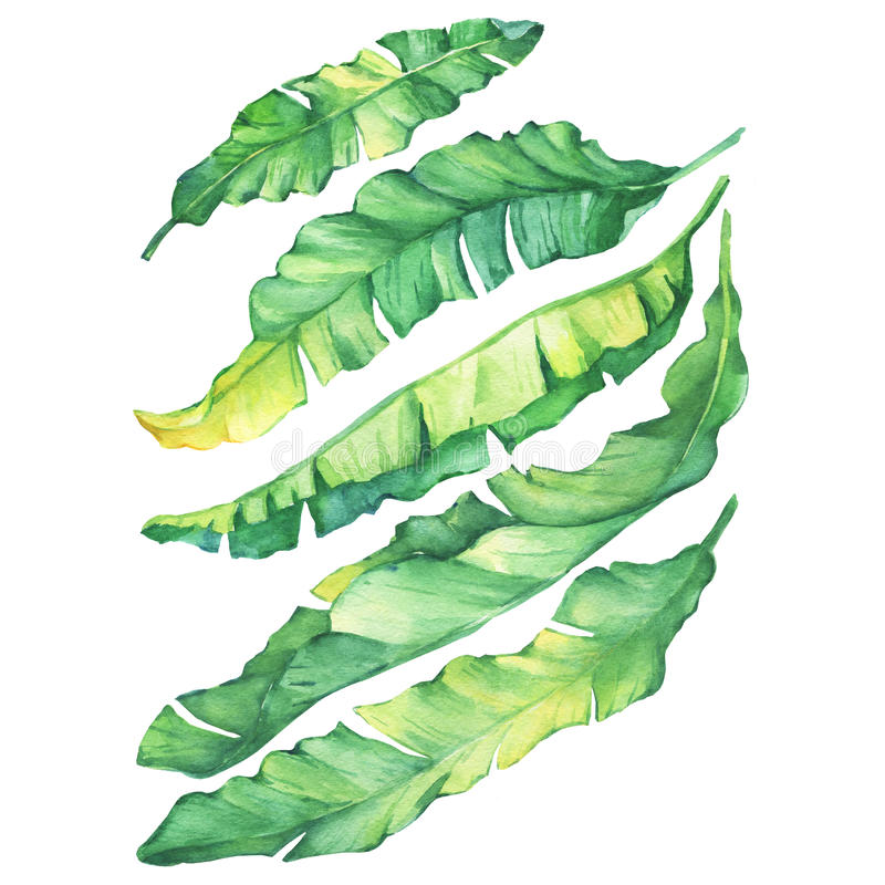 Free Set Exotic Tropical Banana Green And Yellow Leaves. Stock Image - 94640531