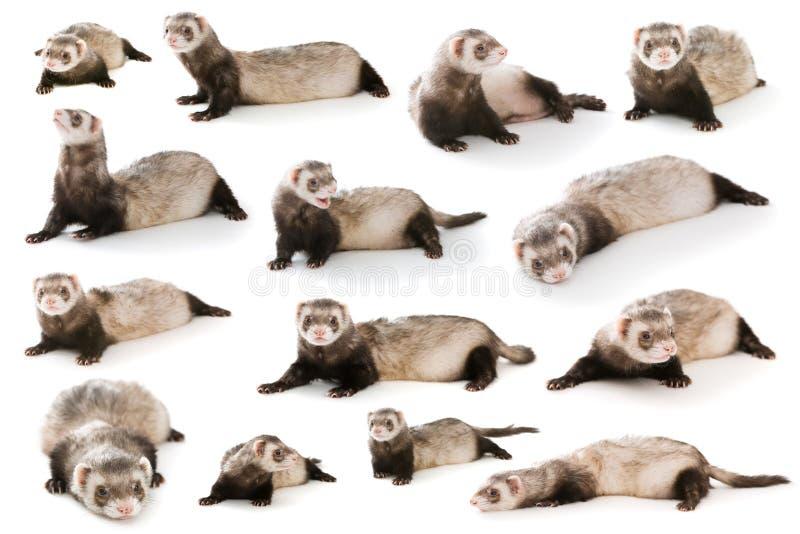 Set ferret isolated stock image