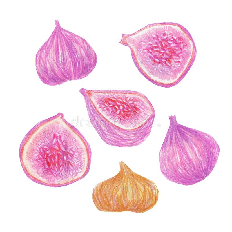 A set of figs painted with colored pencils isolated on a white background. Food illustration. A set of figs painted with colored pencils isolated on a white stock illustration