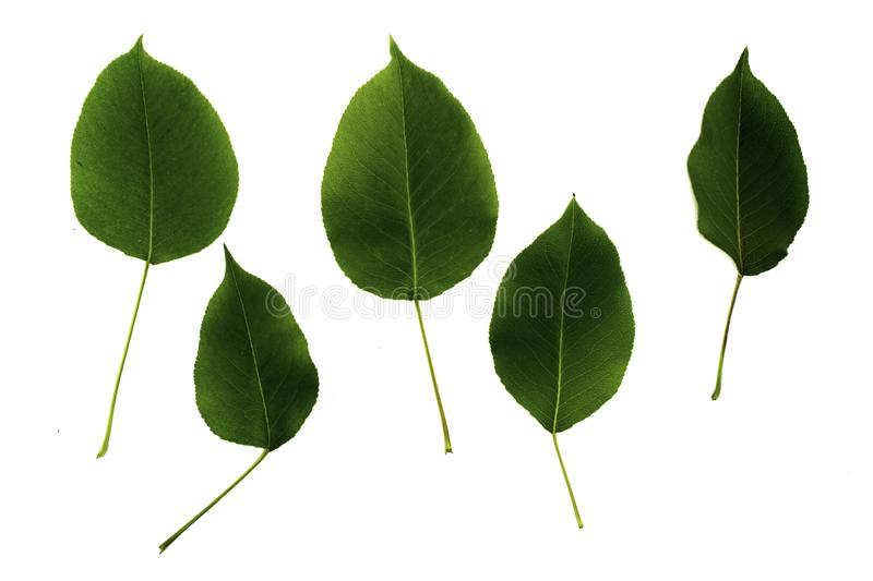 Set of five green leaves of pear isolated on white background royalty free stock photo