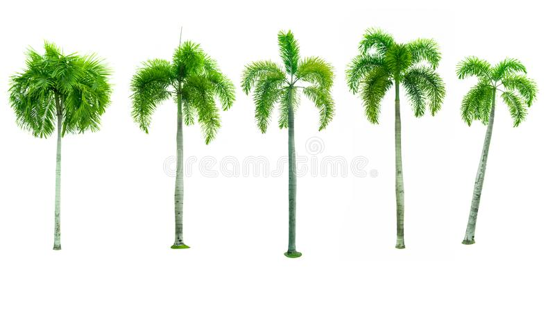 Set of five Manila palm, Christmas palm tree royalty free stock photo