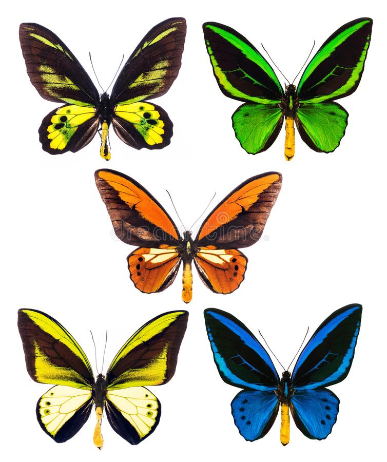 Set of five tropical Ornithoptera birdwing butterflies isolated royalty free stock images